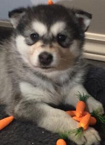 Chiots husky siberien, propre a 98%, habituer dans la maison