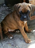 BRINDLE BOXER PUPPIES FOR SALE