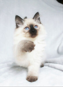Playful Ragdoll Male Kittens - Seal Point