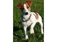 Free to loving home only jack Russell