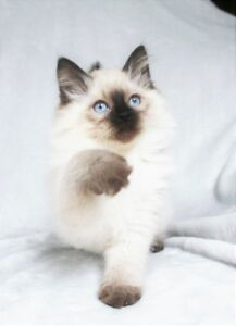 FRIENDLY SEAL POINT RAGDOLL KITTENS FOR REHOMING