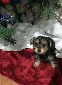 2 minpin morkie male puppies will make great chrismas gifts