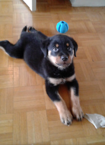 Beautiful lovely female Rottweiler puppy