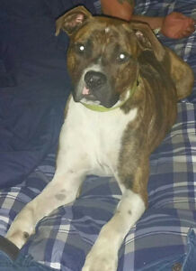 Mac - Lost Male Dog - Brindle with White Mixed Breed