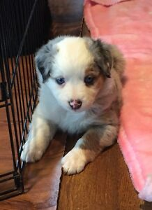 Mini Australian Shepherd puppies.