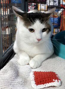 Loki - rescued white & brown tabby male for adoption