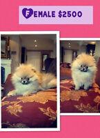 OVERLOAD CUTNESS: Miniature Pomeranians!