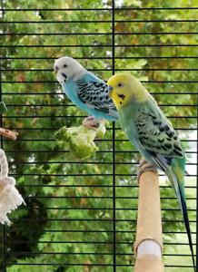 Volière et perruches