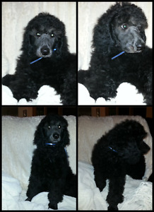 Standard poodle puppies non-shedding/hypoallergenic