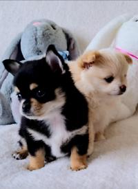 Lovely pomchi puppies