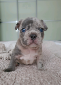 Blue lilac merle French bulldog puppies