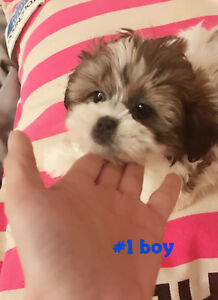 Four lovely pure shih tzu puppies for sale with only $850