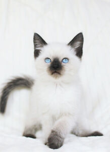 Siamese / Ragdoll Kittens are ready for their new homes