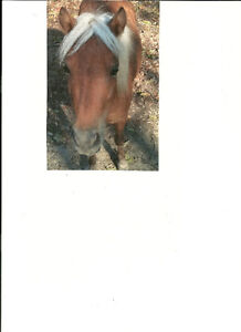 Silver Bay Miniature Horse Mare for Sale