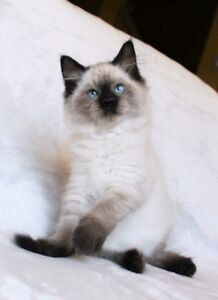 Ragdoll kittens are available for adoption,