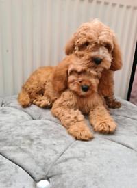 Cavapoo puppies boy and girl