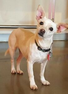 Female Dog Chihuahua Spayed Sweet Friendly - SiriusK9rescue