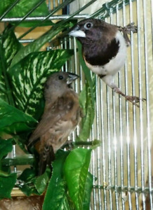 Pair of bronze winged maninkins finches breeders