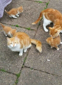 Gorgeous ginger fluffy kittens