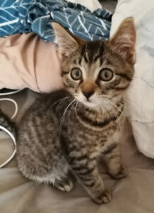 11 week old male kitten to rehome.