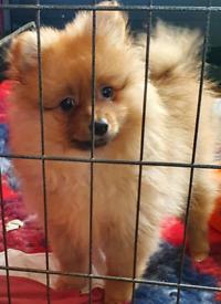 Pomeranian puppies READY NOW!!! 💛