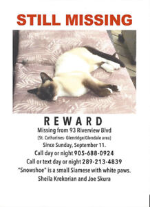 REWARD Small Snowshoe Siamese cat.