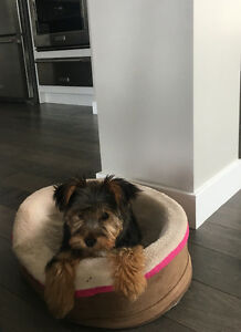 3 month Yorkie Girl Puppy