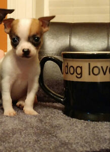 $850 Tiny Tea cup female chihuahua puppy- last one left