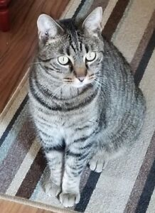 ADULT MALE TABBY CAT