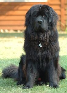 Looking for a Newfoundland puppy