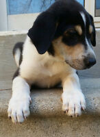 Rottweiler Husky puppies Vet checked, Gift bag included females