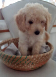 MINIATURE PURE BRED POODLE SOLD t a VERY NICE LADY