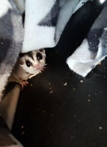 4 Standard Grey Male Sugargliders