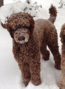 Missing Brown Standard Poodle