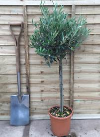 Last Few Now Left Olive Trees 🌿