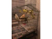 Canary s mixed birds x 7