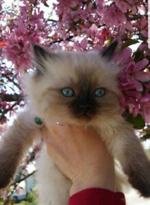 Doll-faced, seal-point, Himalayan kittens.