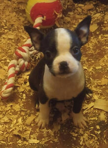 One Boston Terrier MALE * if ad is up he is available