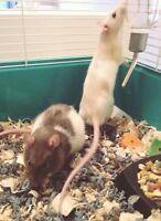 FREE - 2 male rats + cage