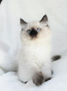 Fluffy Ragdoll kittens are available for adoption..