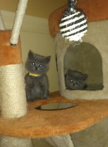 British Shorthair kittens. West Island Greater Montréal image 5