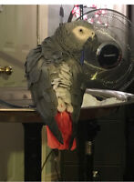 SEARCHING FOR PRIOR OWNER OF AFRICAN GREY PARROT
