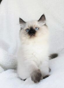 Fluffy Ragdoll kittens are available for adoption,,