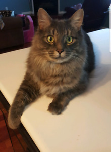 Missing Grey Male Cat