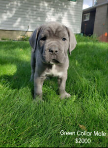 Mastiff | Adopt Dogs & Puppies Locally in Alberta | Kijiji Classifieds