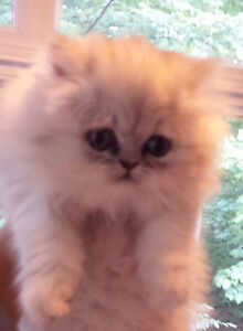 Gorgeous Pure Bred Persian Chinchilla and White kittens