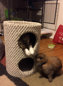 1 year old Holland Lop Rabbit