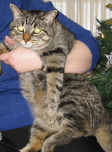 LOST: Brown tabby cat