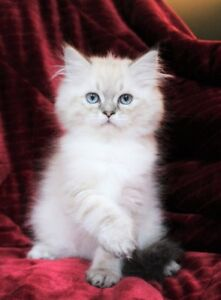 Color Point Persian kittens are available for adoption,