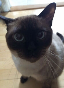 Siamese Cat looking for new home